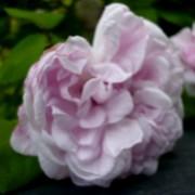 Rose_Vignette